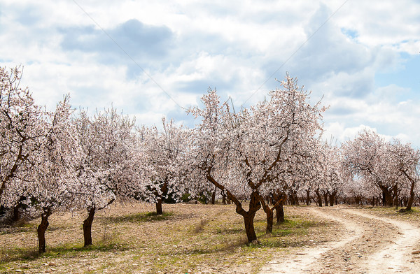 Amande arbre verger fleur sud Espagne Photo stock © Freila