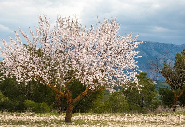 Amande arbre sud Espagne nature paysage Photo stock © Freila