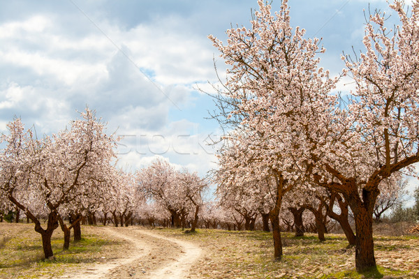 Almond Tree Orchard  Stock photo © Freila