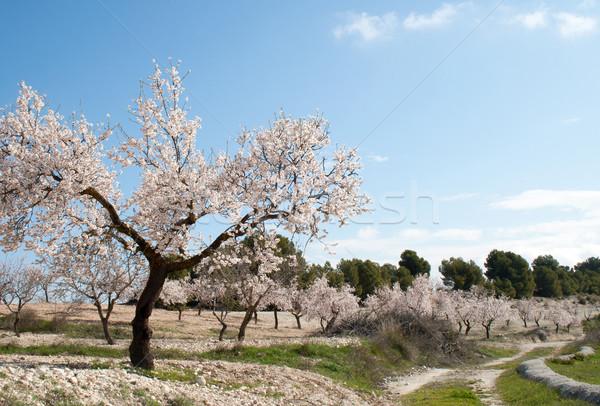 Amande arbre verger fleur nature paysage Photo stock © Freila