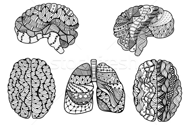 Human Brain and  lungs Stock photo © frescomovie
