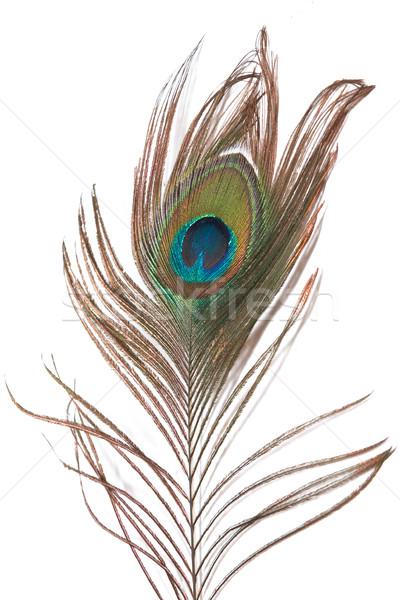 peacock feather Stock photo © frescomovie