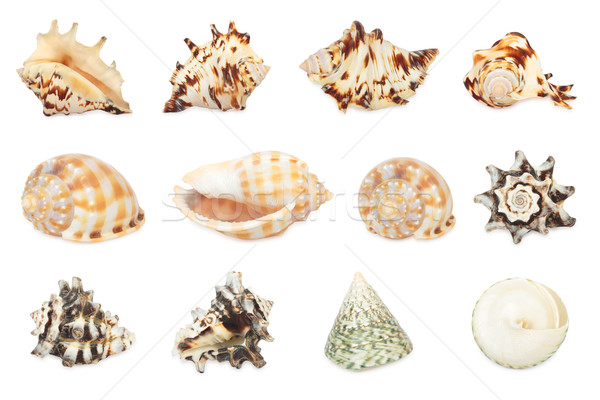 Set of shell. All in focus. High res. Isolated on a white backgr Stock photo © frescomovie