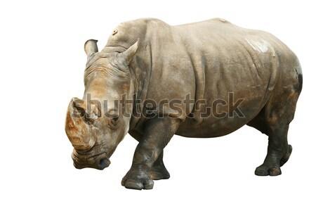 Rinoceronte isolado branco fundo construir Foto stock © frescomovie