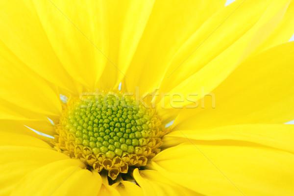 Blume groß gelb Gänseblümchen schönen Makro Stock foto © frescomovie