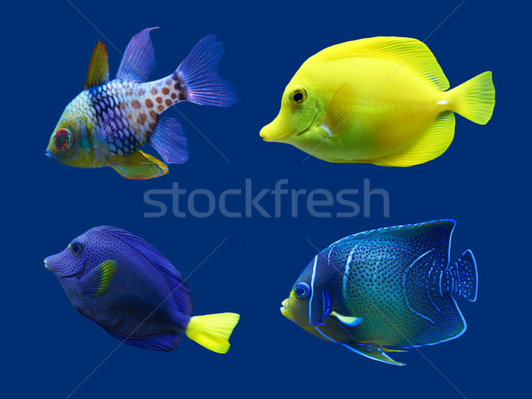 Set of tropical fish. Isolated on blue. Hight res. Stock photo © frescomovie