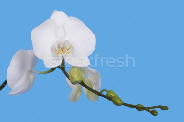 Foto stock: Flor · orquídea · isolado · azul · alto