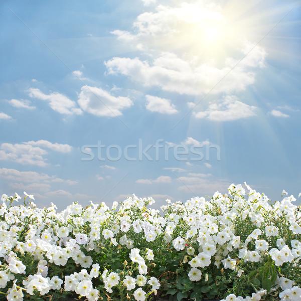 Nyár tájkép idilli fehér virágok kék égbolt Stock fotó © frescomovie