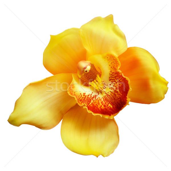 Blume gelb Orchidee isoliert weiß Stock foto © frescomovie