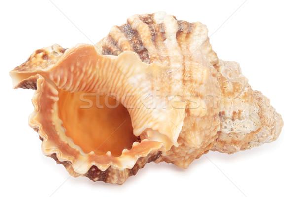 sea shell Stock photo © frescomovie