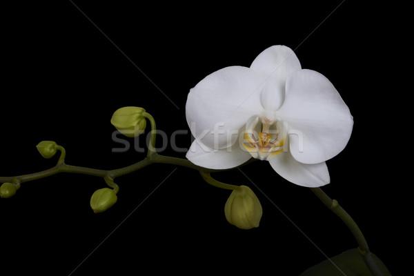 Foto stock: Orquídea · isolado · preto · e · branco · flor · preto