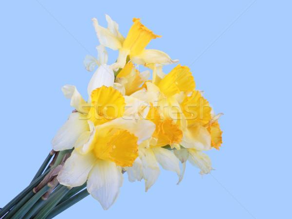 Yellow narcissus Stock photo © frescomovie