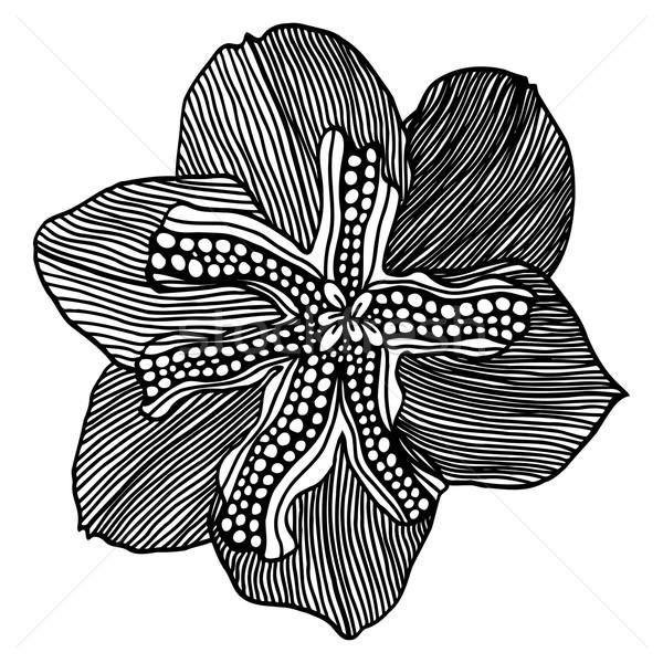 sketch of flower narcissus Stock photo © frescomovie