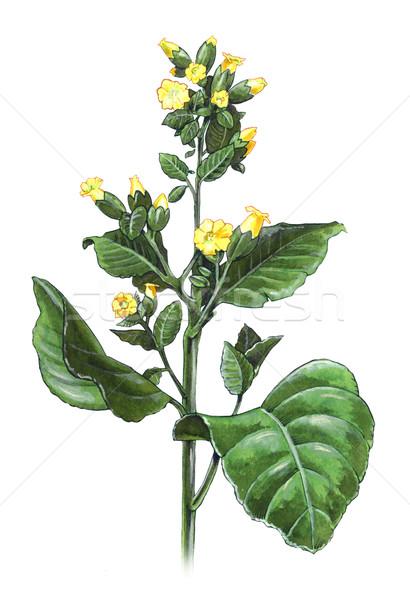 Tabacco impianto mano colorato illustrazione campo Foto d'archivio © fresh_7266481
