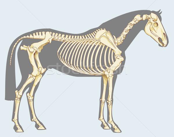 Ló csontváz tudományos illusztráció izolált égbolt Stock fotó © fresh_7266481