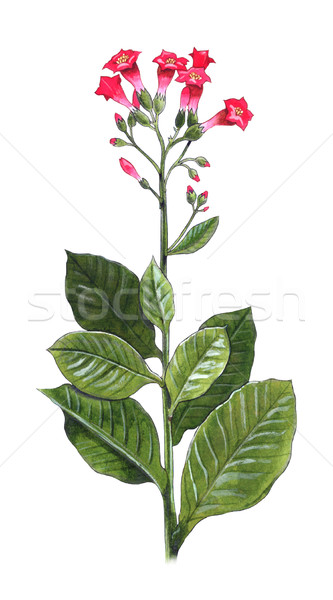 Tabak plant hand kleurrijk illustratie natuur Stockfoto © fresh_7266481