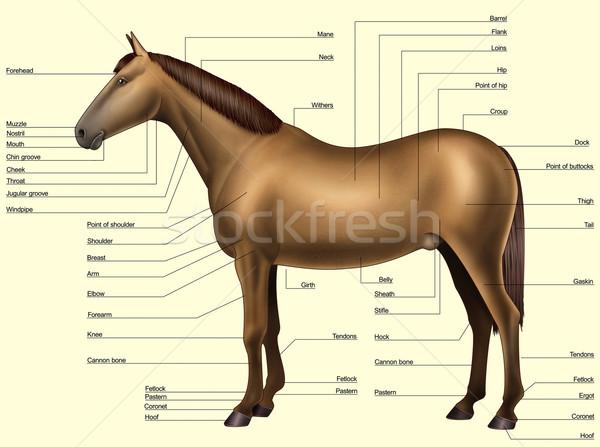 Konia anatomii części ciała odizolowany żółty Zdjęcia stock © fresh_7266481