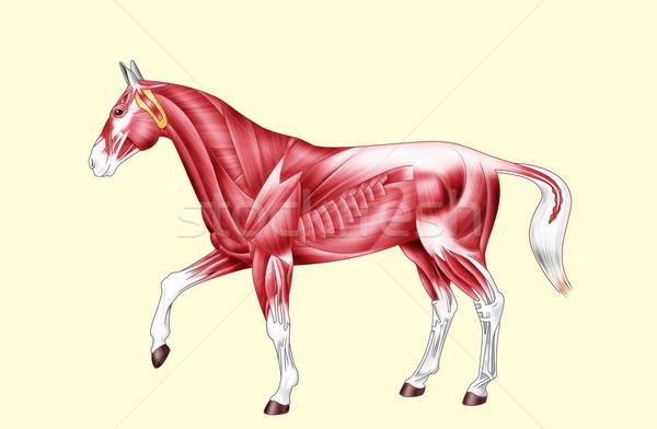 馬 解剖 筋肉 文字 デジタルイラストレーション ストックフォト © fresh_7266481