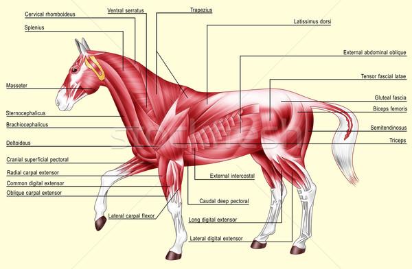 馬 解剖 筋肉 デジタルイラストレーション 孤立した 黄色 ストックフォト © fresh_7266481