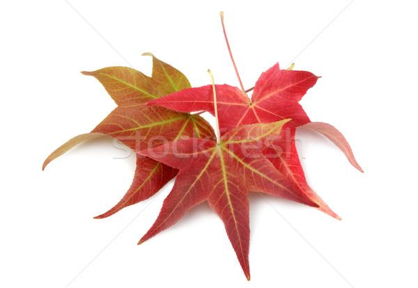 Automne automne érable laisse coloré rouge Photo stock © Freshdmedia