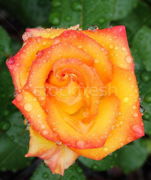 Rose jaune Rose Red macro pluie gouttes Photo stock © Freshdmedia
