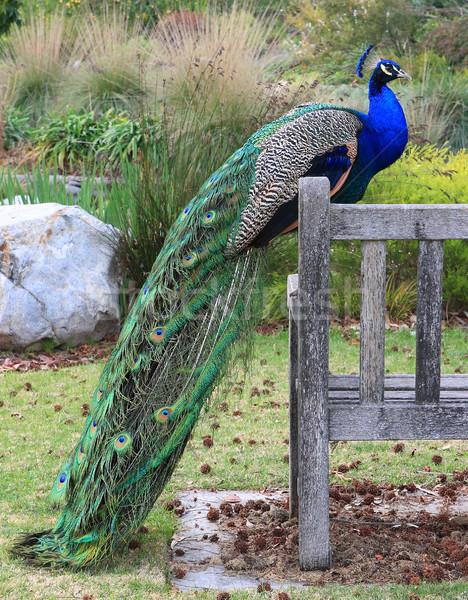 Páva park kék Stock fotó © Freshdmedia
