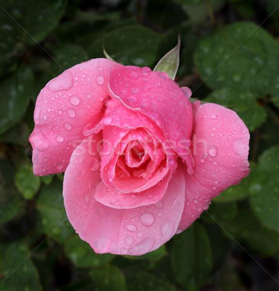 Pink rose macro shot with rain drops Stock photo © Freshdmedia