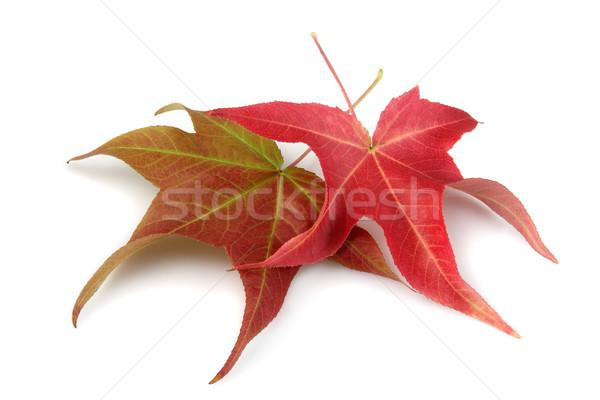 Deux automne érable laisse blanche fond Photo stock © Freshdmedia