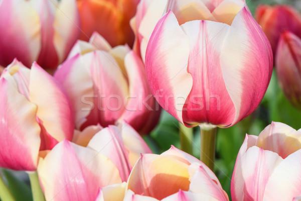 Rosa tulipas primavera tempo Foto stock © frimufilms