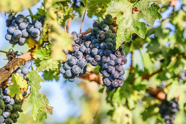 Grape vines at harvest time Stock photo © frimufilms