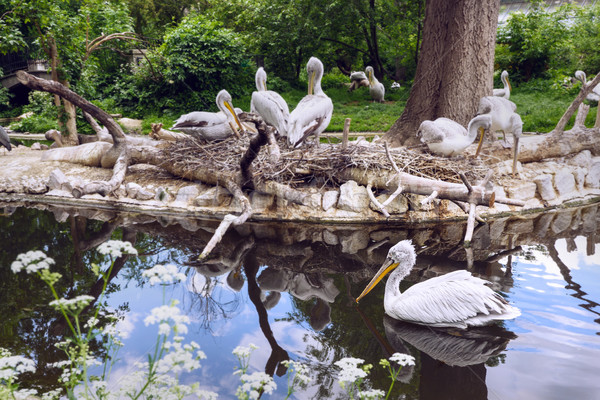 White pelican group at the lake with reflection Stock photo © frimufilms