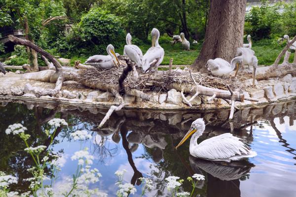 Beyaz grup göl yansıma doğu hayvanat bahçesi Stok fotoğraf © frimufilms