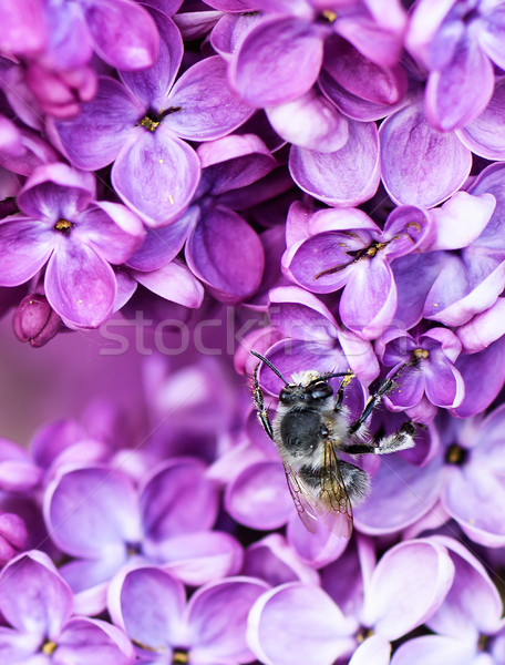Macro image of spring lilac flower over soft abstract green background and a pollinating bee Stock photo © frimufilms