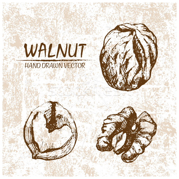 Digital vector walnut hand drawn illustration Stock photo © frimufilms