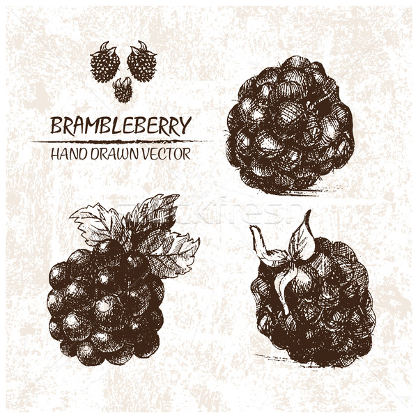 Digital vector detailed brambleberry hand drawn Stock photo © frimufilms