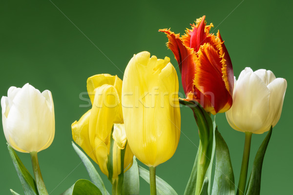 Stock photo: Red, white and yellow tulips