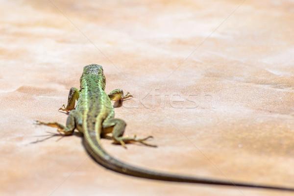 Stock photo: Green female lizard walking