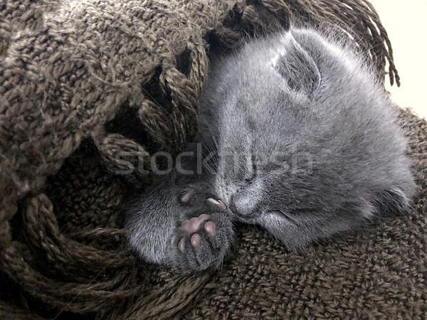 Küçük kabarık gümüş mavi İngilizler Stok fotoğraf © frimufilms
