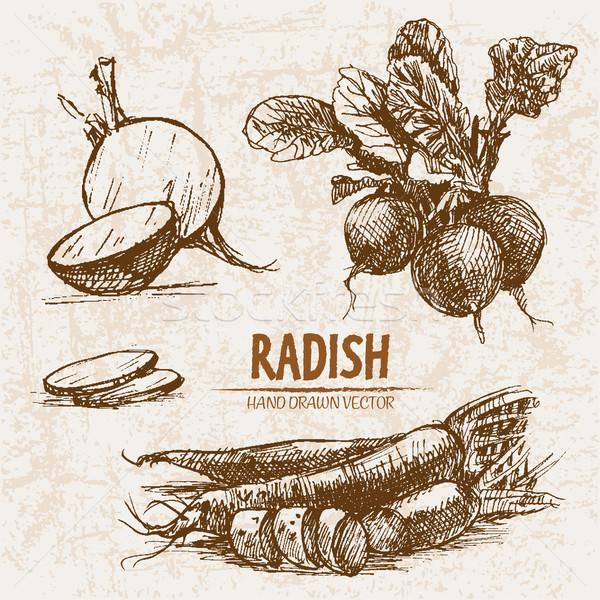 Digital vector detailed line art radish vegetable Stock photo © frimufilms