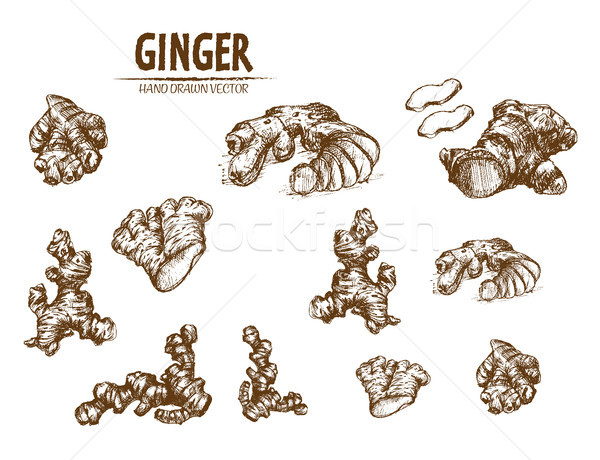 Digital vector detailed line art ginger Stock photo © frimufilms