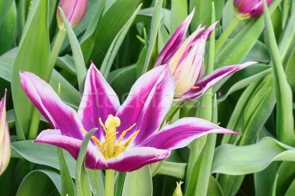 Purple narcissus, close up Stock photo © frimufilms