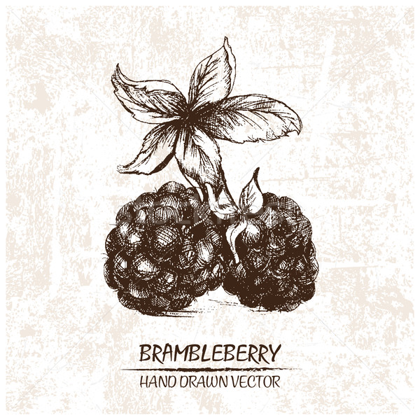Stock photo: Digital vector detailed brambleberry hand drawn