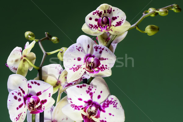White and purple blooming orchid Stock photo © frimufilms
