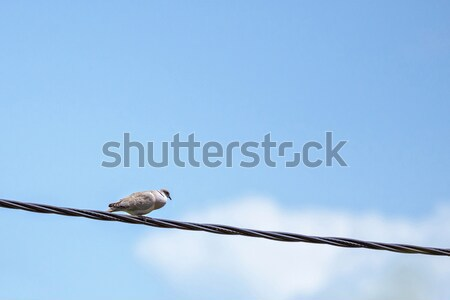 Silver pigeon resting on an electrical wire Stock photo © frimufilms