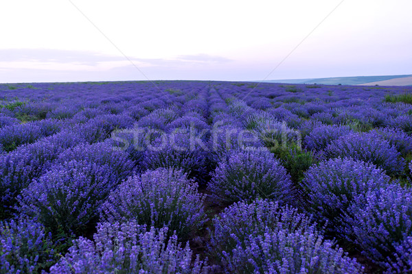 Photo of purple flowers in a lavender field at sunset Stock photo © frimufilms