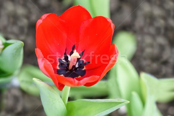 Vermelho tulipas primavera tempo Foto stock © frimufilms