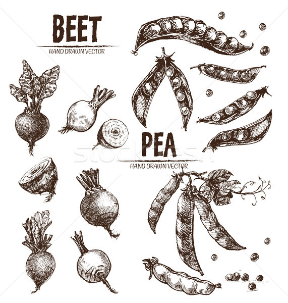 Digital vector detailed line art beet Stock photo © frimufilms