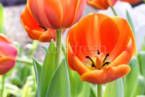 Red tulips, close up Stock photo © frimufilms