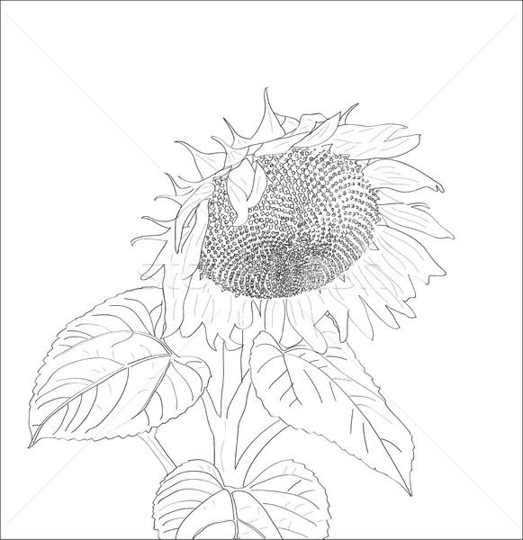 Digital vetor girassol isolado branco Foto stock © frimufilms