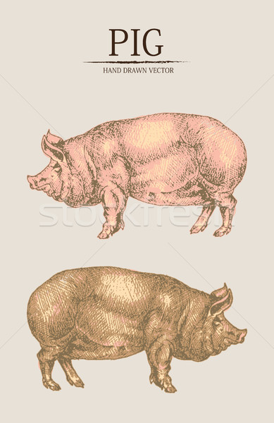 Digital vector detailed pig hand drawn Stock photo © frimufilms
